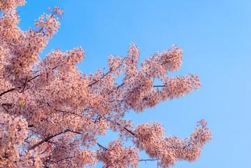 Wild Himalayan Cherry Prunus cerasoides blooming on blue sky in