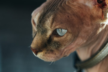 Cat of sphynx breed in a collar