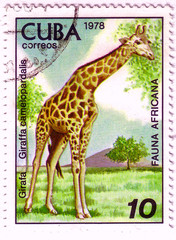 CUBA - CIRCA 1978: A stamp printed by Cuba shows fauna Africa the Giraffe - Giraffa camelopardalis, stamp is from the series, circa 1978