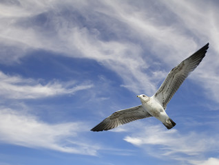 Seagull flying on blue sky with clouds background