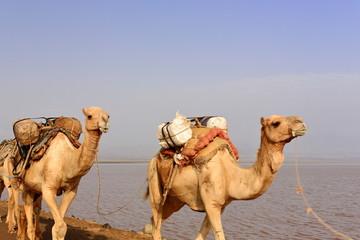 Afar herders lead a camel caravan. Danakil-Ethiopia. 0259