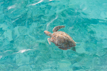 Swimming Turtle in Water. Miami Beach in Barbados