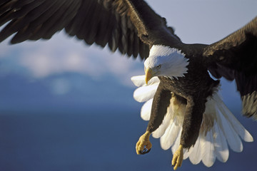 Bald Eagle in flight close up