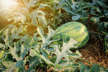 watermelon in the garden with lighting flare