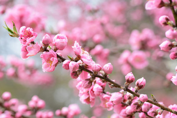 Beautiful light pink peach blossoms during spring in Japan