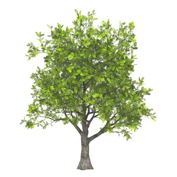 3d model of ash tree isolated on pure white background