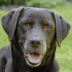 Foto auf AluDibond Hund bruine labrador kijkt blij in de camera