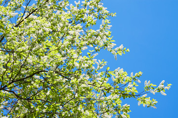 bird cherry branches in white flowers blossom in the spring
