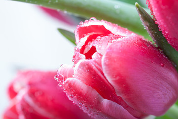 Tulips in drops of dew on a white background