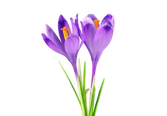 Poster Krokussen Two purple crocuses, isolated on white