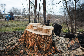 Stump of the cut tree, next to a tractor transporting logs.