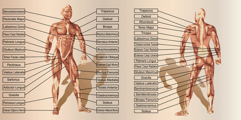 Vector 3D man muscle anatomy with text