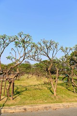 Frangipani tree at Suan Luang RAMA IX.