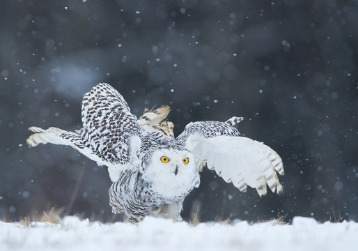 Snowy owl sitting on the plain, open wings, with snowflakes in the background, Czech Republic, Europe