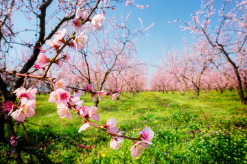 Orchard of peach trees bloomed in spring. Selective focus image