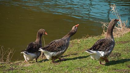 Wild goose near river