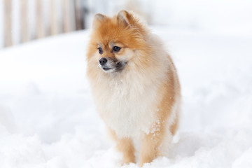 Pomerianian spitz in snow looking away