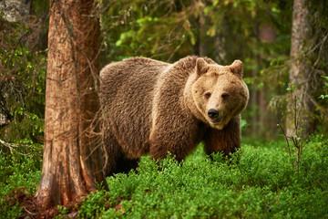 Wild brown bear