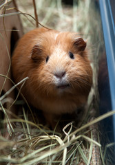 Portrait of red guinea pig.