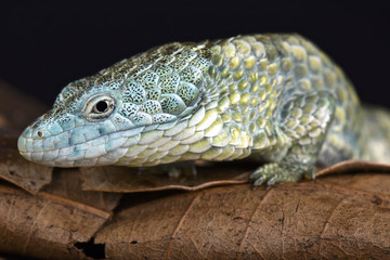 Mixtecan arboreal alligator lizard (Abronia mixteca)