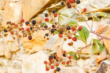 Frutos silvestres de Zarzamora. Rubus ulmifolius.