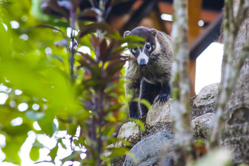 Coati in Jungle