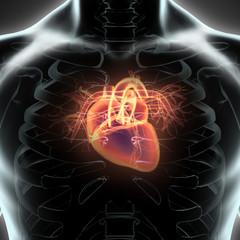 Human Internal Organic - Human Heart.