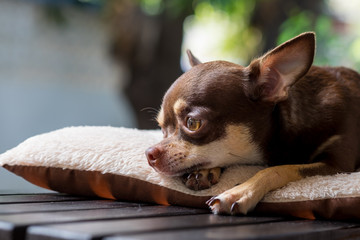 Sleepy cute short hair chihuahua lay on mattress.