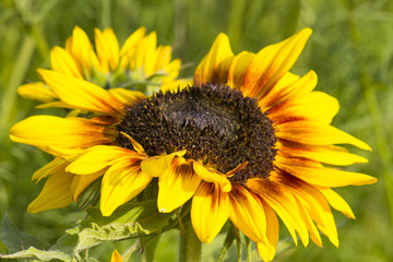sunflower in the garden (Helianthus)