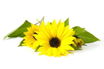sunflowers on white background (Helianthus)