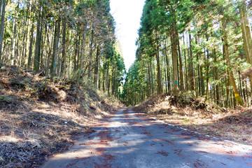 杉の林の道