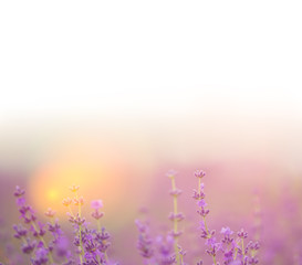 Foto op Canvas Snoeien Lavender