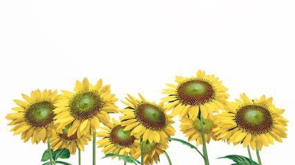 Sonnenblumen isoliert auf weißem Hintergrund