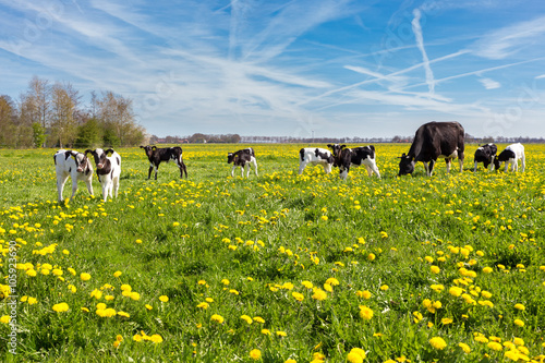 Mother cow with newborn calves in meadow with yellow dandelions