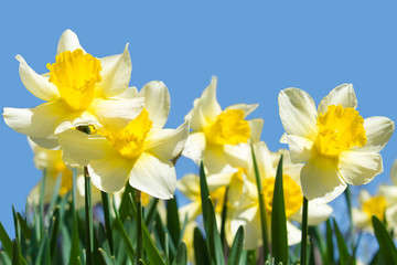 daffodils on blue sky background
