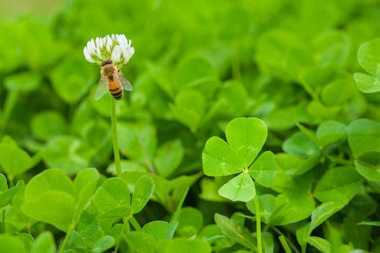 四葉のクローバーとミツバチ