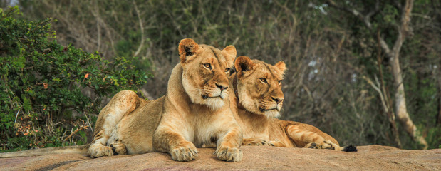 Two Lions on the rocks