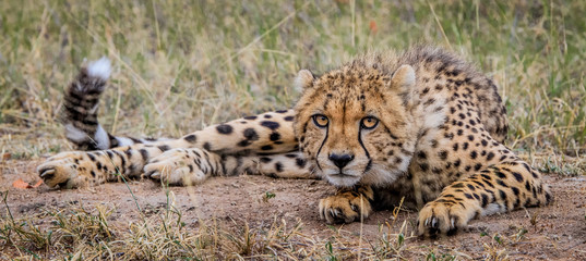 Laying Cheetah