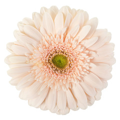 white gerbera on isolate background