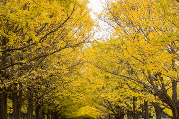 Yellow ginkgo leaves tunnel branches in autumn