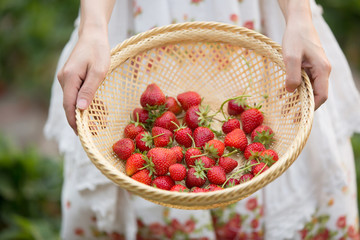 Harvesting girl on the strawberry field