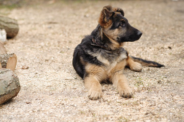 Young German Shepherd