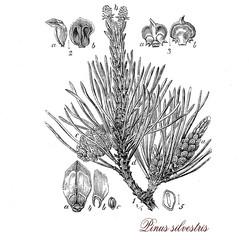 Scots pine,botanical vintage engraving
