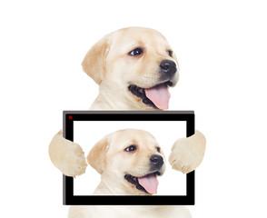 Photo Labrador puppy