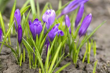 Poster Krokussen Purple crocus made his way through the soil