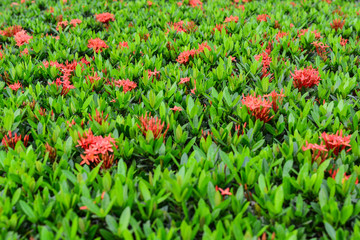 Ixora is a genus of flowering plants in the Rubiaceae family.