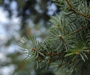 Pine tree branches and needles