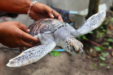 sea turtle in hands
