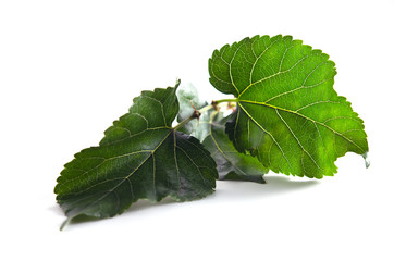 Mulberry leaf over white background