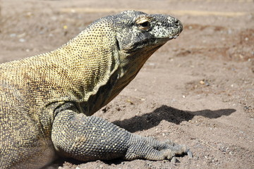 The large reptile Komodo Dragon